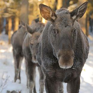 Varmlands-Moose-World_03
