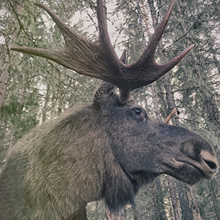 Varmlands-Moose-World_05