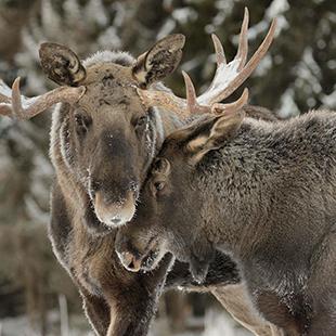 Varmlands-Moose-World_08